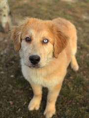 Rosewood Goldens - Dog Breeders