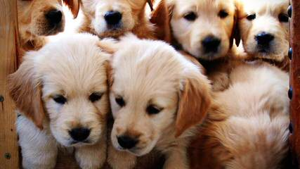 Mapleleaf English Cream Golden Retrievers - Dog Breeders