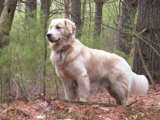 English Cream Golden Retrievers - Dog Breeders