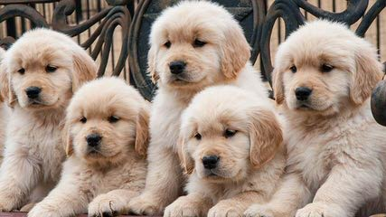 Goldens And Samoyeds - Dog Breeders