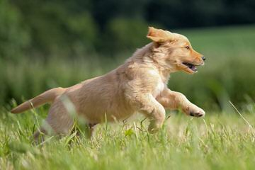 Kelty's Goldens - Dog and Puppy Pictures