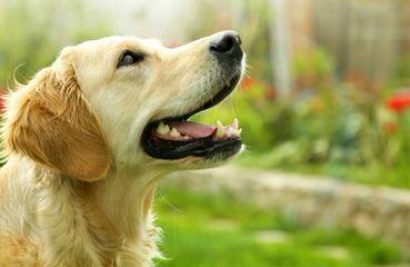 Avilys Golden Retrievers - Dog Breeders