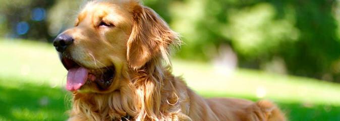 English Goldens of Arcadia_AZ - Dog Breeders