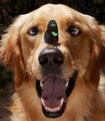 Goldens And Samoyeds - Dog Breeders