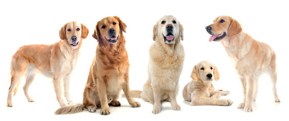 Shadalane Golden Retrievers - Dog Breeders