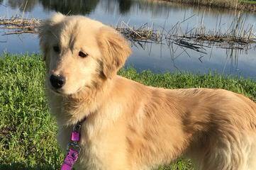 Kelty's Goldens - Dog Breeders