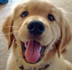 Laura's Mini Goldendoodles - Dog Breeders