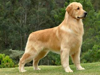 Of Golden Duck - Dog Breeders