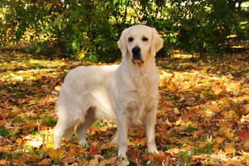 Beautiful Akc Golden Retrievers! - Dog Breeders