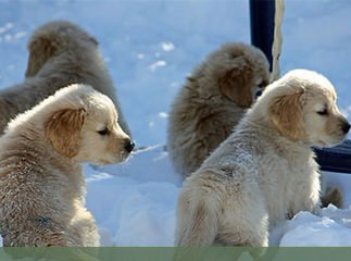 whiteriverenglishgoldens - Dog Breeders