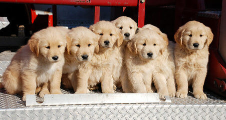 Akc Golden Retriever Puppies - Dog Breeders