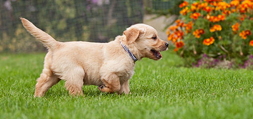 Lavender Lane Goldens Now Available Petite Goldens - Dog Breeders