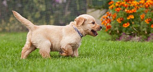 Just Doodle Dogs Golden Retriever - Dog Breeders