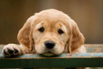 Miniature Golden Retrievers & Comfort Retrievers - Dog Breeders