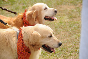 Millie's Mini Golden Retrievers - Dog Breeders