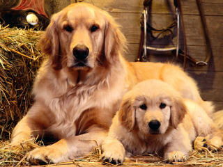 Glamour Goldens - Dog Breeders
