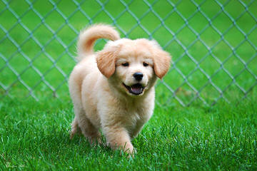 Cindy's Golden Nuggets - Dog Breeders
