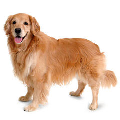 Comfort Golder Retriever (Small Goldens) - Dog Breeders