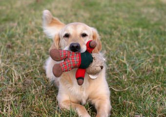 Golden Retriever Puppies - Dog Breeders