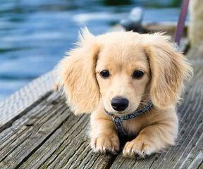 Mariannehouse Golden-retriever - Dog Breeders