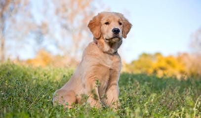Miniature Golden Retrievers & Comfort Retrievers - Dog Breeders