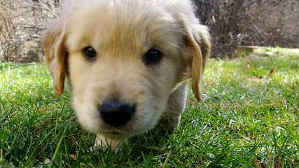 Serene Golden Retriever Puppies - Dog Breeders