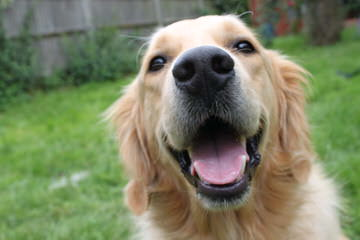 whiteriverenglishgoldens - Dog and Puppy Pictures