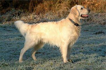 Good as Gold Retrievers - Dog Breeders