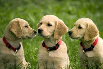 Earth Angel Goldens - Dog Breeders