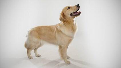 European/English Type Golden Retievers - Dog Breeders