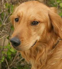 Golden Retriever Stud Dog Service - Dog Breeders