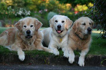 Goldworks Kennel - Dog Breeders
