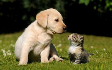White Golden Retrievers - Dog Breeders