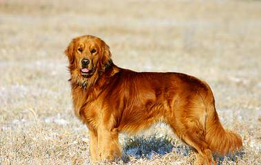 Carsher Goldens - Dog and Puppy Pictures