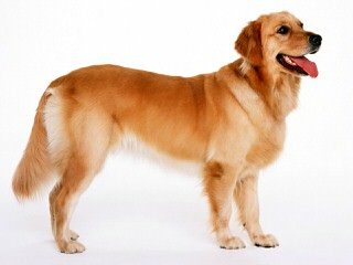 Comfort Retreiver Puppy Dogs Ready To Go Now! - Dog Breeders