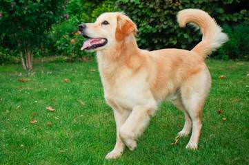 Glamour Gold - Dog Breeders