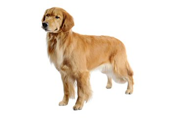 Icewind English Cream Golden Retrievers - Dog Breeders