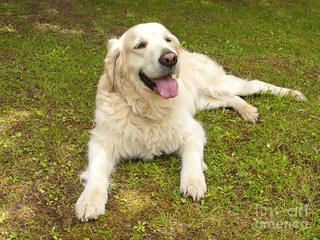 SUNNYFIELDS GOLDENS - Dog Breeders
