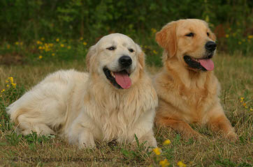 White Golden Retrievers - Dog Breeders