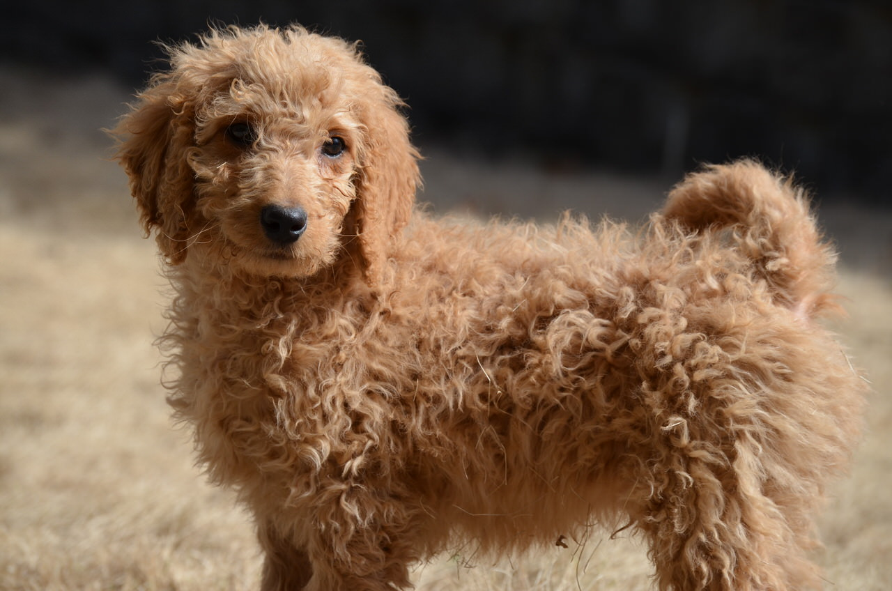 Goldendoodle Dogs and Puppies