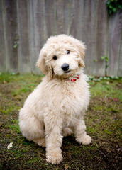 MINIATURE GOLDENDOODLES - Dog Breeders