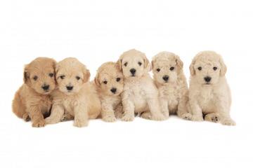 Azgoldendoodles - Dog Breeders