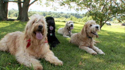 Carriage House Cockapoos and Goldendoodles - Dog Breeders