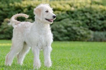 Cindy Blueridgepuppies - Dog Breeders