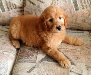 Dogwoods Doodles Of New Hampshire Goldendoodles, Labradoodles & Cockapoos Raised W/Children - Dog Breeders