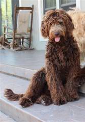 Snickers Doodles - Dog Breeders