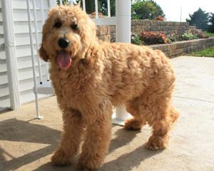 Jersey Shore Doodles - Dog Breeders