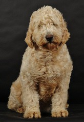 Carriage House Cockapoos & Goldendoodles - Dog Breeders