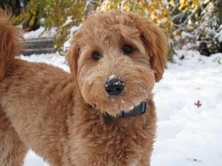 Debs Goldendoodles - Dog Breeders