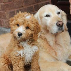 DOODLESVILLE - Dog and Puppy Pictures